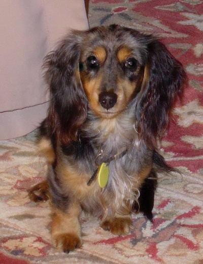 RE: Breed Information: Dachshund