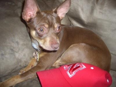 Ideal Weight for a Miniature Pinscher/Chihuahua | ThriftyFun