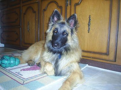 ... golden retriever and german shepard mix looks like golden shepherd to