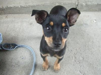 RE: Lexi (Chihuahua/Miniature Pinscher)