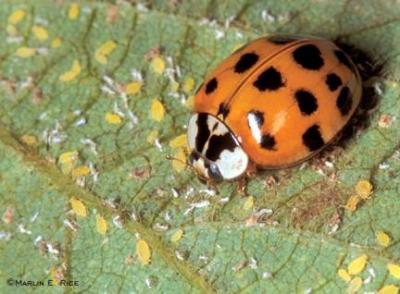 RE: Ladybugs in the House