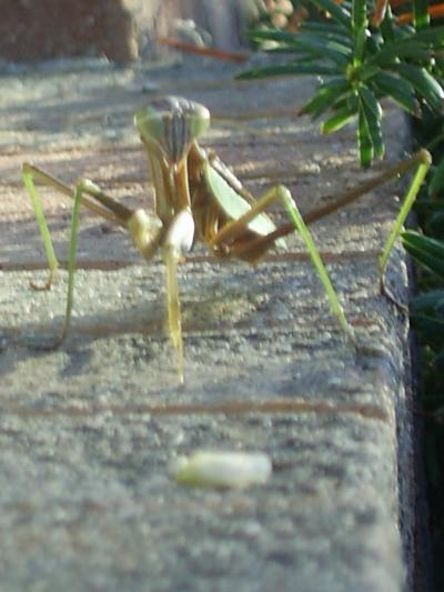 RE: Preacher (Eastern Mantis)