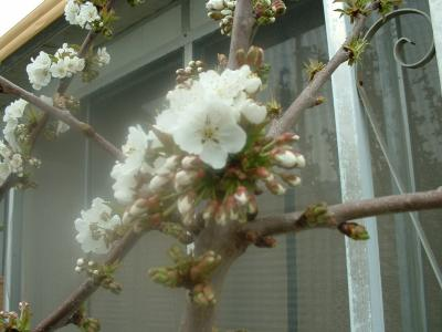 RE: Growing: Cherries (Cherry Trees)