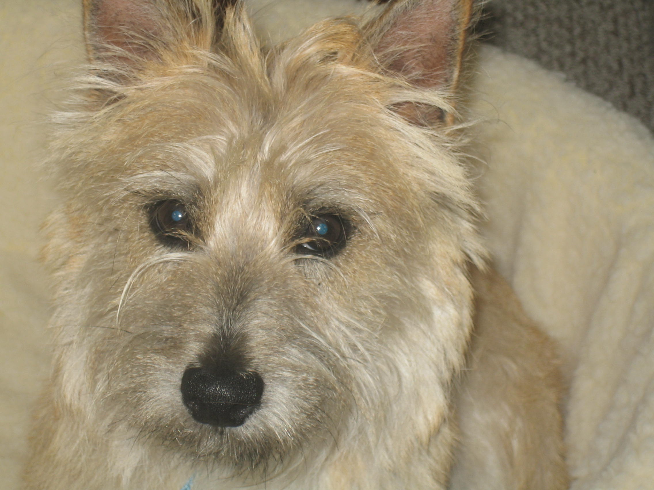 RE: Breed Information: Cairn Terrier