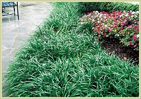 how to get weeds out of monkey grass