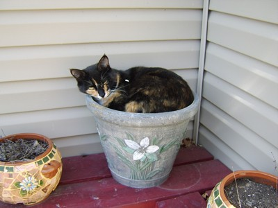 Callie (Calico Cat)