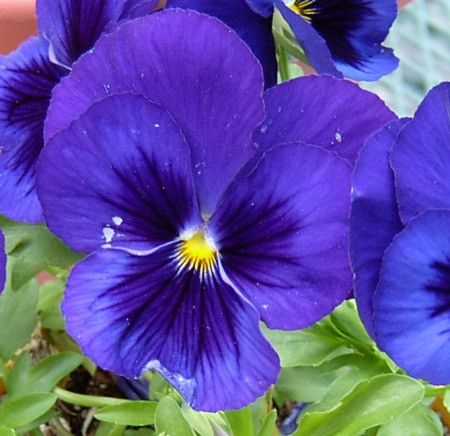 photo of Purple Pansy