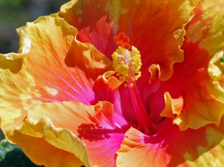 yellow and pink hibiscus close up