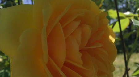 Yellow Rose in Spring