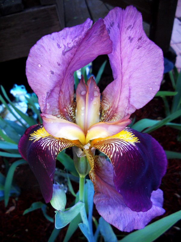 Photo of Iris after watering