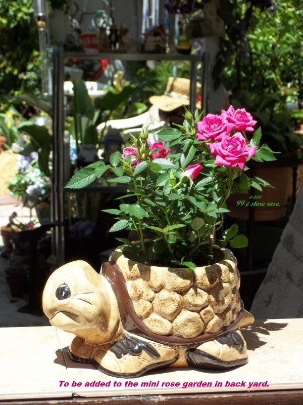 Mini rose in a turtle planter.