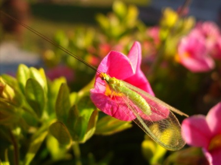 Another view of a green insect on a pink petunia.