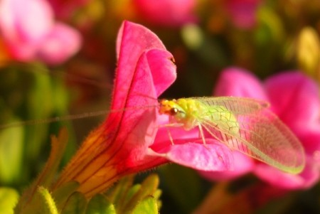 A green insect on a pink petunia flower.