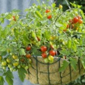 Cherry Tomatoes in hanging basket