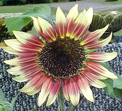 picture of growing sunflowers in a planter