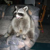 Photo of a happy raccoon