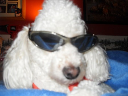 A white poodle wearing sunglasses.
