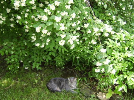 A grey cat under a bush outside.