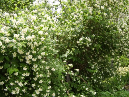 Photo closeup of a Mock Orange