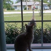 A cat looking out the window at a sandhill crane.