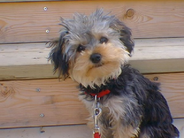 Ellie Mae (Yorkshire Terrier-Toy Poodle)
