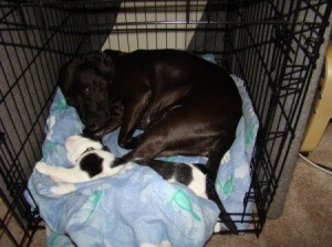 A black and white cat sleeping in a crate with a black dog