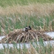 Two mallards on top of a muskrat house in water.