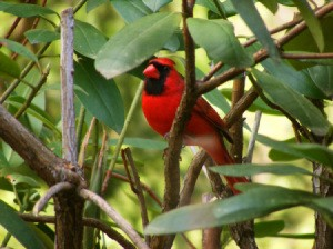 Red cardinal bird in a rhododendron bush.