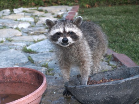 Raccoon on patio, digging in planter.