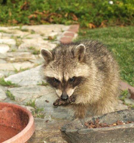 Raccoon outside, licking his paw.