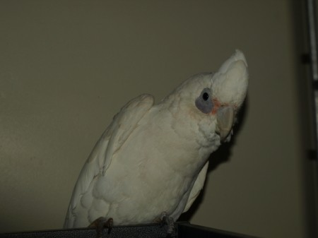 A white cockatoo tilting his head to the side.
