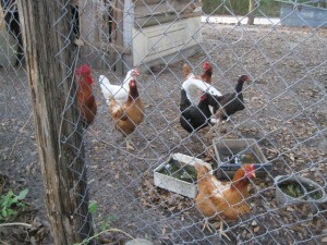 Six chickens in a yard behind a chain link fence.