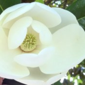 A close up of a white magnolia blossom