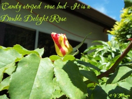 Candy Striped Double Delight Rose