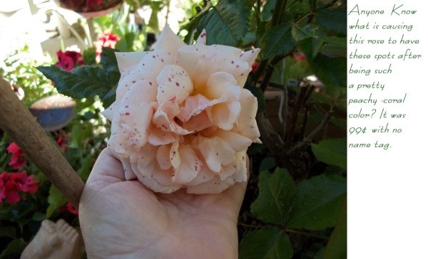 Freckled No Name Rose