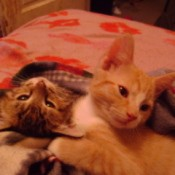 An orange tabby and grey tabby kitten.