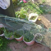 Chicken wire being used in an outdoor garden.