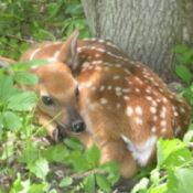 A fawn sleeping under a tree in Wisconsin
