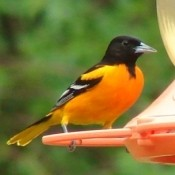 A brightly colored oriole at a birdfeeder.