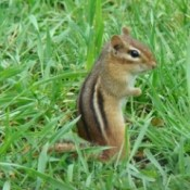 A chipmunk sitting up in some tall grass.