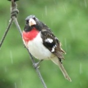 A grosbeak perched on a wire.