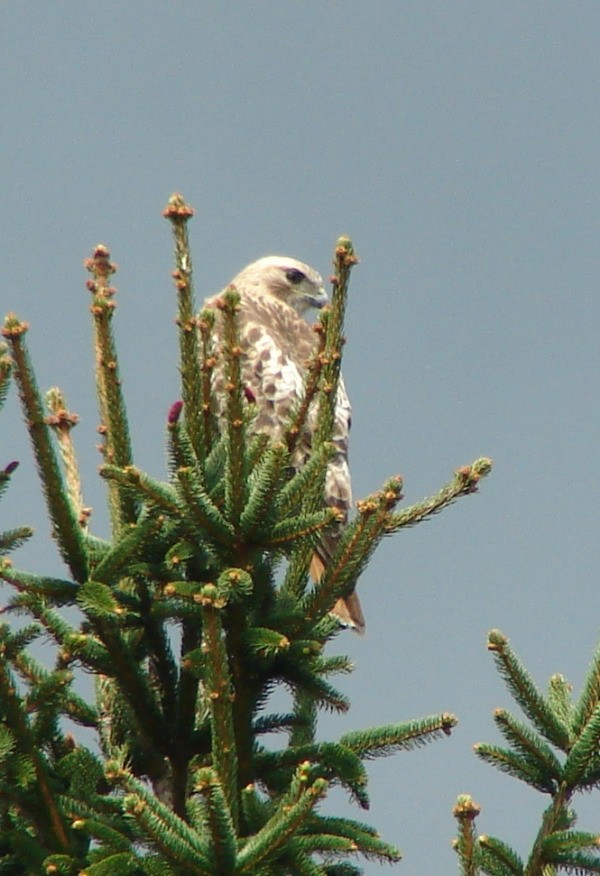 A red tailed hawk at the top of an evergreen tree.