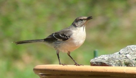 A female mockingbird perched on a birdbath.