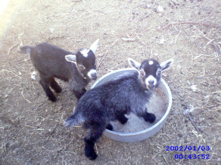 Two pygmy goats in a yard.