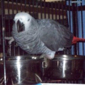 A grey and white bird sitting near food in a cage.