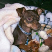 A miniature pinscher wrapped in a blanket