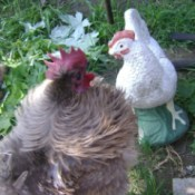 A rooster with a white hen.