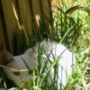 A white cat hiding behind some grass in the yard.