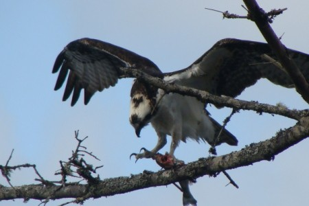 An osprey with outspread wings on the Oregon Coast.