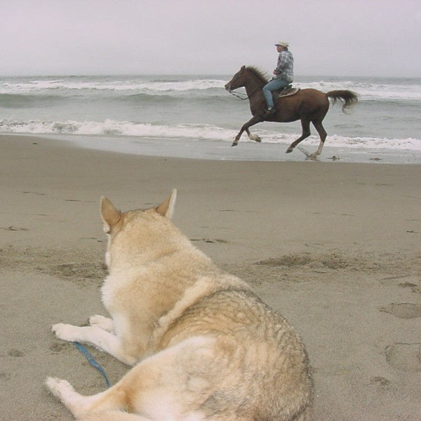Stryker, a wolf-husky dog, watching a horse on the beach..